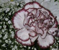 Mare's flower