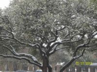 Live Oak in the snow