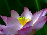 LOTUS BLOSSOM AT GREEN SPRINGS GARDEN PARK