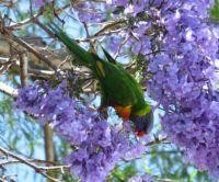 Rainbow Lorikeet sipping nectar in the Jacaranda tree...