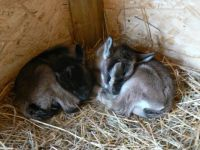 2 Sleeping Baby Goats