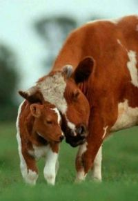 animals  mom cow and child