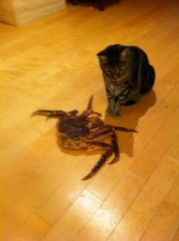 cat vs crab