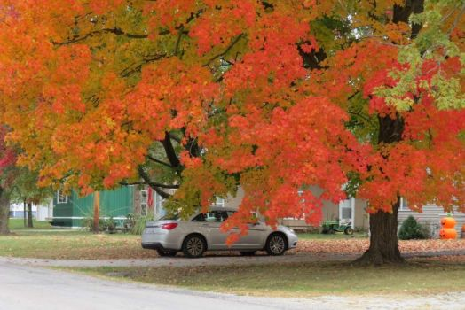 Maple Tree on Fire!