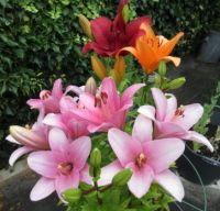 A few more open Lilies.