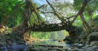 live root bridge - India