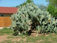 Large Cactus