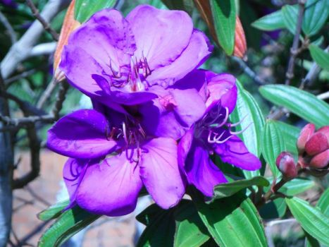 Tibouchina - in my garden this morning.