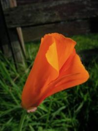california poppy 1