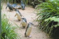 Penguins at the zoo in Syndey, Australia
