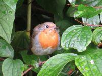 robin (medium)