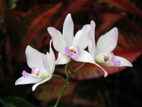 11 - Orchids - Missouri Botanical Garden