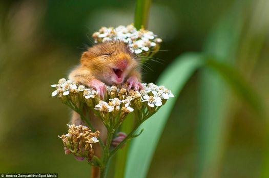 Laughing Dormouse