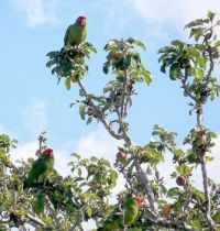 Point Loma - 3 Red Headed Parrots on Apple Tree