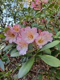 Rhododendron Maryke