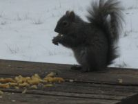 MY friend the squirrel,eating his french fries