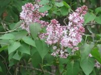 Lilacs in May 2021