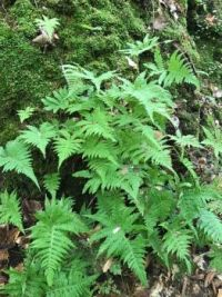 Gorgeous Ferns