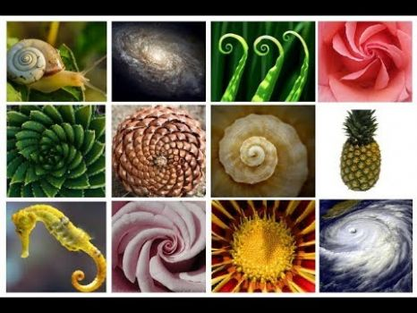 Fibonacci Sequence in Nature 3 of 4