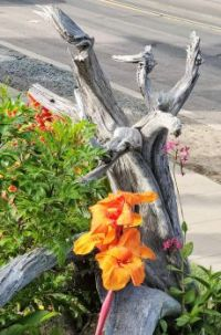 Canna Lily on Wood