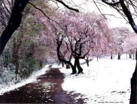 Winter Cherry Blossom Road