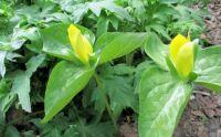 rare yellow trillium