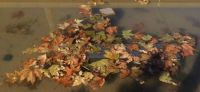 Cluster of fall leaves in water
