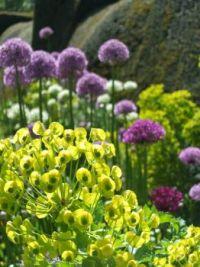 Euphorbia and Alliums