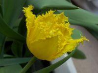 gelbe ausgefranste Tulpe.JPG