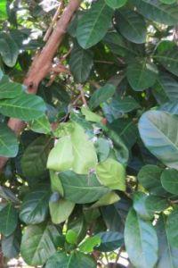 Green ant's nest in Port Douglas