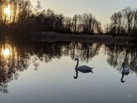 Pair of swans on little pond
