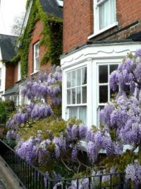 Wisteria and vine covered houses in England