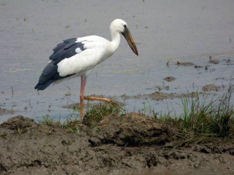 Open-billed Stork Sri Lanka