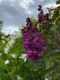 Can you smell the lilacs? New York Botanical Garden