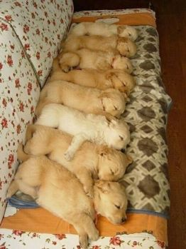 Golden retrievers,