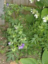 Garden - Flowers - Polemonium caeruleum (Jacob's Ladder)