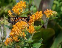 A Monarch Butterfly, on a Butterfly Milkweed . .