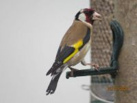 Goldfinch with a bad hair day in the rain.
