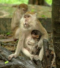Songkhla monkeys  (2)