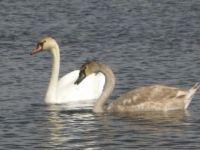 Swan's on Whitmore Lake