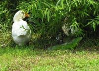 goose(Maize),duck(Quackers) and iguana (Iggy) hanging out -photo from 2007