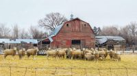 Happy barn and sheep