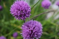 Chives in bloom :-)