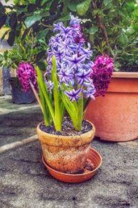 Hyacinty - Hyacinths