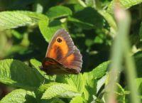 Gatekeeper - Pyronia tithonus (Oranje zandoogje)