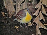 Golden Heart Dove