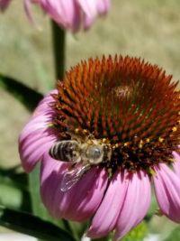 Echinacea and Bee