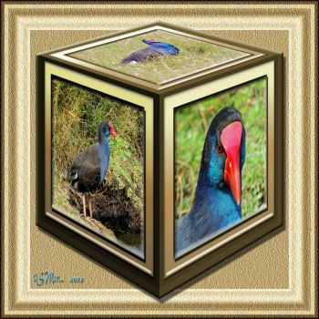 Photo Cube...The Other Side.... Purple Swamp Hen....