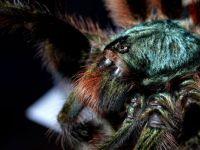 A. versicolor