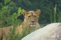 Lioness at Ree Park